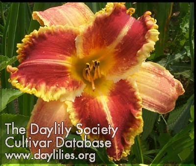 Daylily Order or Chaos