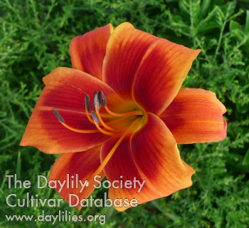 Daylily Outrageous