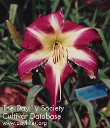 Daylily Peacock Maiden