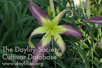 Daylily Phantom Warrior