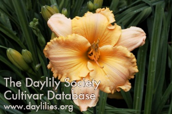 Daylily Pure and Simple