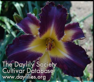 Daylily Purple Badger
