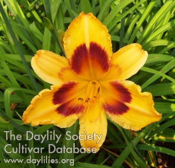 Daylily Radiant Greetings