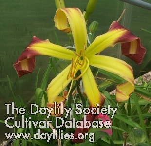 Daylily Radioactive Curls