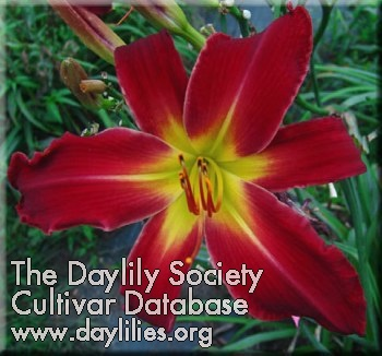 Daylily Red Fascination