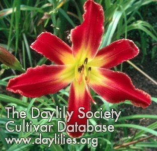 Daylily Red Hurricane
