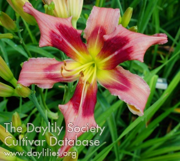 Daylily Rudolph the Red-nosed Reindeer