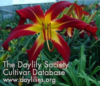 Daylily Red Viper