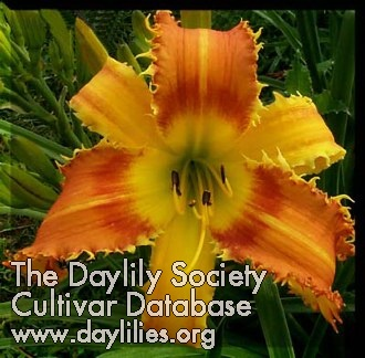 Daylily Saber Tooth Tiger