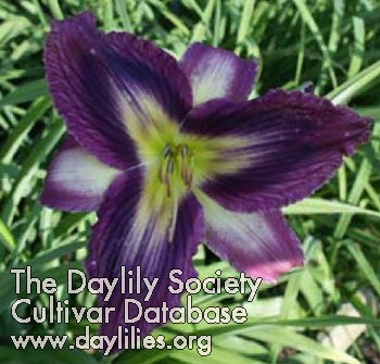 Daylily Smoke Scream