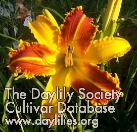 Daylily Startling Creation