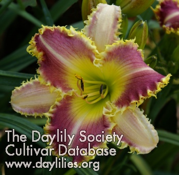 Daylily The Dentist