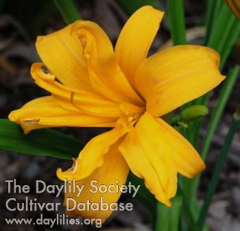 Daylily Three Tiers
