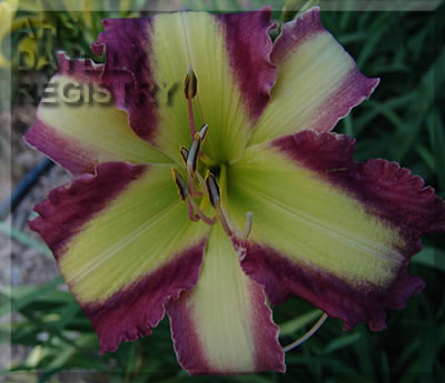 Daylily Time Stopper
