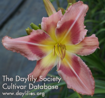Daylily Too Sexy for You