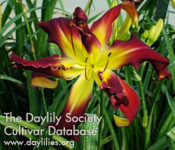 Daylily Webster's Double Wonder