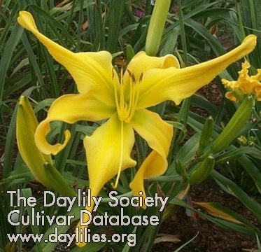 Daylily Where Eagles Soar