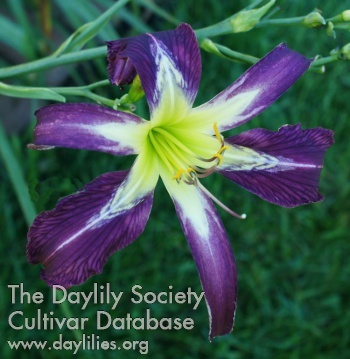 Daylily Zebra Power